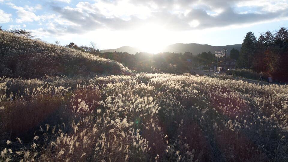 フォトジェニックな黄金に輝くすすきをドローンで空撮in仙石原