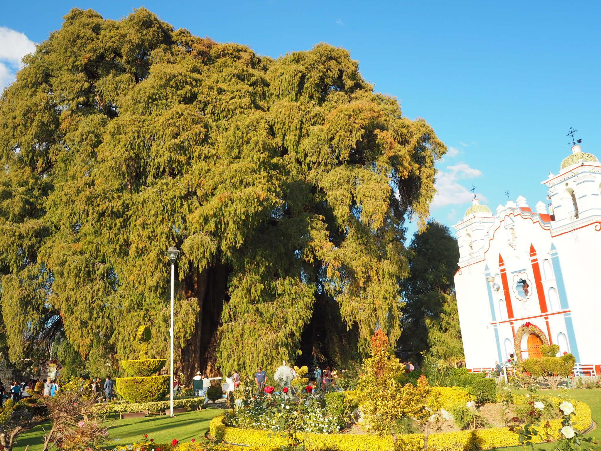 エルトゥーレの木